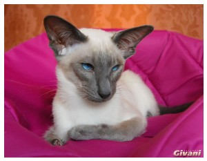 Siamese Cats • Сиамские кошки - Siamese Kittens • Сиамские котята - Koosje van Tutte's Dream Come Blue