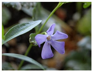 Givani.net - Flowers Photo • Цветы фото - Periwinkle • Барвинок