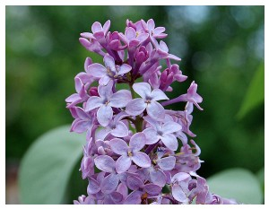 Givani.net - Flowers Photo • Цветы фото - Lilac-Classics • Сирень