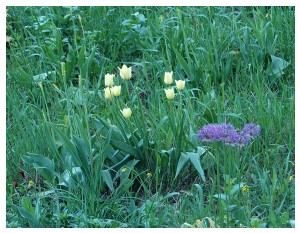 Givani.net - Flowers Photo • Цветы фото - Yellow-Tulips-Grass
