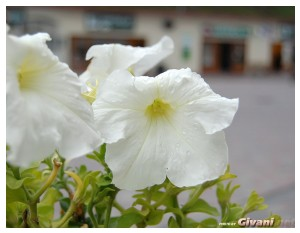 Givani.net - Flowers Photo • Цветы фото - Petunia • Петунии