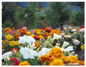 Givani.net - Flowers Photo • Цветы фото - Meadow • Лужайка