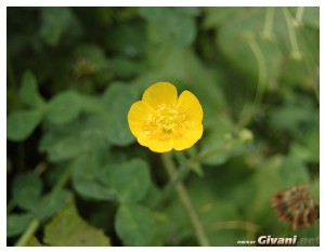 Givani.net - Flowers Photo • Цветы фото - Buttercup • Лютик