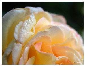 Givani.net - Flowers Photo • Цветы фото - Rose-Wallpaper