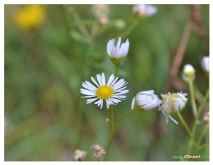 Givani.net - Flowers Photo • Цветы фото - Camomile • Ромашка