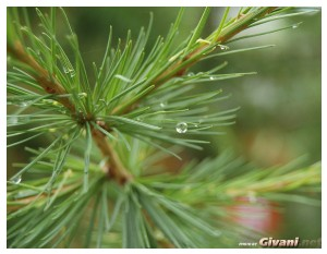 Givani.net - Plants • Растения - Evergreen-5