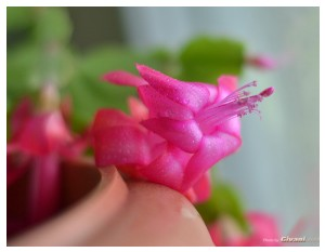 Givani.net - Flowers Photo • Цветы фото - Schlumbergera • Рождественник